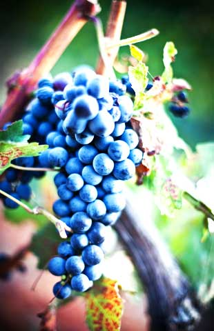 Weinfrühling in Dernau
